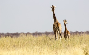 Picture Namibia, Africa, wildlife, sunny, family, giraffes