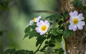 Picture branch, briar, flowers, bokeh