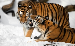 Picture cat, snow, tiger, pair, fangs, Amur