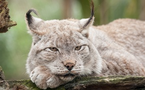Picture cat, look, lynx, face