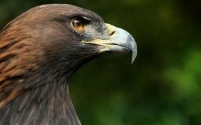 Picture macro, bird, head, beak, Falcon, hawk