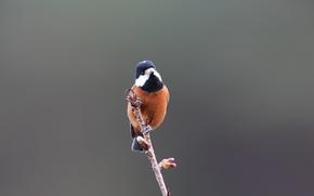Picture Blue, Black, White, Bird, Brown, Beak, Eye, Branch, Sittiparus