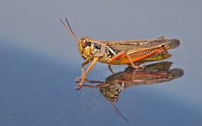 Picture reflection, wings, head, insect, grasshopper