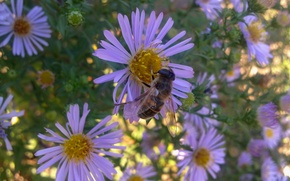 Picture flowers, bee, Daisy, September