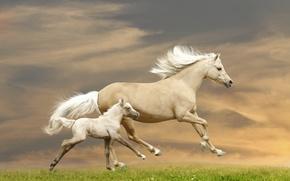 Picture grass, horse, horses, running, runs, foal