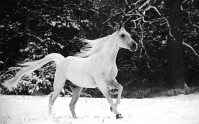 Picture snow, horse, horse, horse, mane, tail, horse, black and white photo