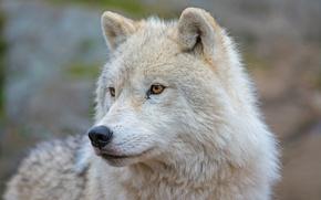 Picture look, face, wolf, portrait, predator, Arctic island wolf