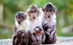 Picture baby, nature, mom, macaques, monkey