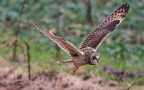 Picture wings, flight, Short-eared owl