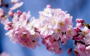 Wallpaper flowers, Sakura, pink, petals, flowering, cherry, the sky, spring