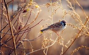 Picture autumn, grass, bird, Sparrow, Sunny, dry