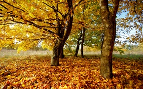 Picture autumn, leaves, trees, nature