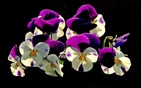 Picture flowers, black background, Pansy