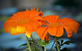 Picture Flowers, orange, flowers, orange, bokeh, bokeh