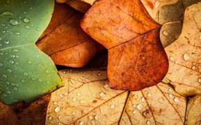 Picture leaves, macro, autumn. water drops