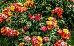 Picture summer, flowers, roses, Nature, colors, summer, the bushes, nature, flowers, roses