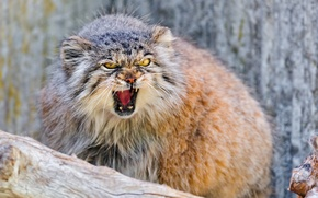 Picture forest, animals, nature, manul