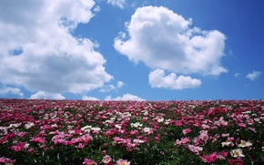 Picture horizon, flowers, peonies, field, clouds