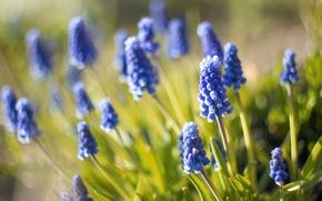 Picture macro, blur, nature, Muscari, blue flowers