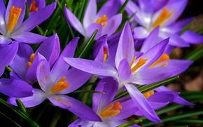 Picture nature, paint, spring, petals, Krokus