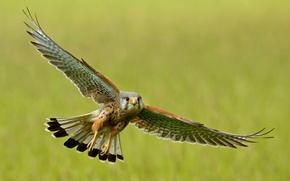 Wallpaper flight, bird, wings, stroke, Kestrel