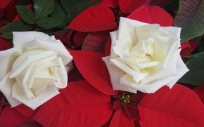 Picture roses, Duo, white roses, poinsettia