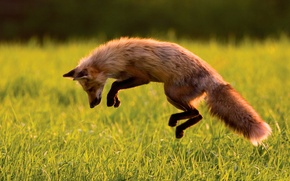 Wallpaper jump, Fox, hunting, Fox