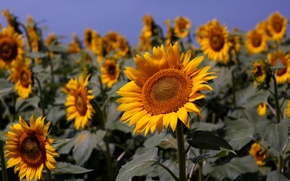 Picture field, summer, the sky, nature, Sunflowers, blue