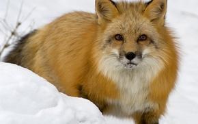 Wallpaper Fox, snow, winter