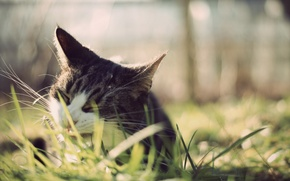 Picture grass, mustache, Cat, ears, dumb-dumb, chews
