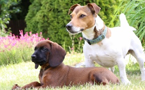 Picture dogs, puppy, lawn, Jack Russell Terrier, The Bavarian mountain hound