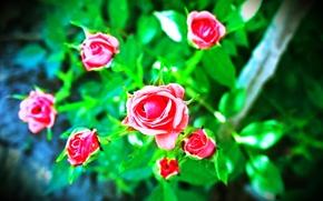 Picture flower, rose, dwarf rose