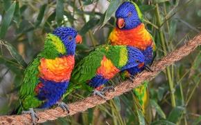 Picture birds, rope, parrots, trio, Trinity, Multicolor lorikeet, loricati