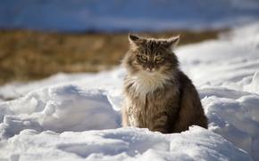 Picture winter, cat, snow, nature, Cat, shadows