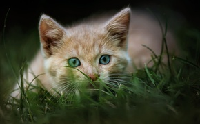 Picture cat, grass, nature, pose, kitty, portrait, red, muzzle, blue-eyed