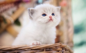 Picture baby, kitty, bokeh, Ragdoll