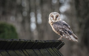 Picture forest, owl, the ceiling, bokeh, looking