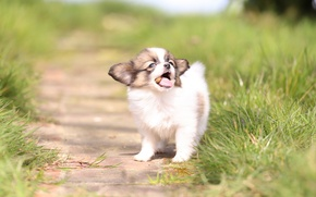 Picture grass, dog, baby, puppy, bokeh, The continental toy Spaniel, Papillon