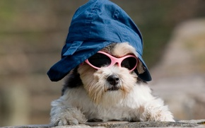 Picture dog, image, cap, dog, doggie, cool, sunglasses, outfit, image
