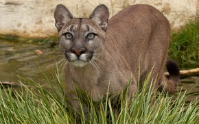 Picture cat, grass, look, water, Puma, mountain lion, Cougar