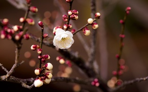 Picture flower, macro, branch, spring, apricot, buds, bokeh, twigs, flower