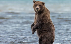 Picture water, wet, bear, stand