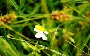 Picture field, flowers, Ukraine