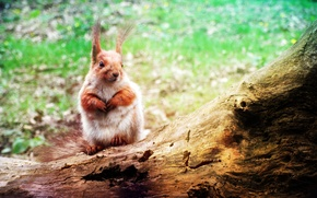 Wallpaper animals, protein, Wallpaper, squirrel