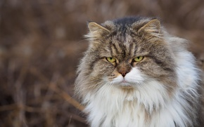 Picture cat, look, fluffy, angry