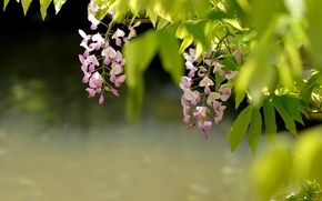 Picture flowers, Wisteria, nature