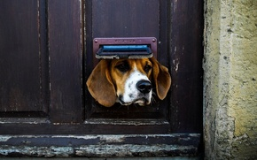 Picture Dog, animal, situation, door, ears, nose, muzzle