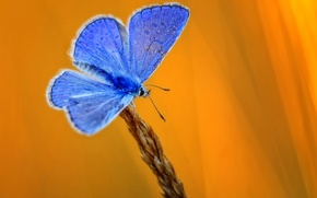 Picture butterfly, ear, yellow background, blue