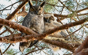 Picture branches, tree, owls