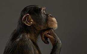 Picture mood, model, monkey, chimpanzees